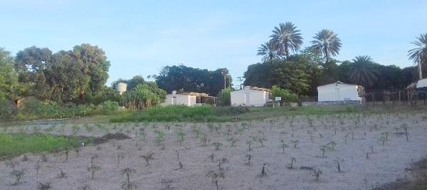 Área no campo com as 23 variedades de mandioca. Campus do Pici, Departamento de Fitotecnia, em maio de 2017.